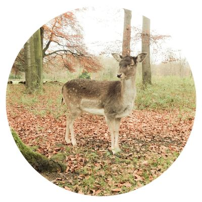 Fallow Deer Animals Nature