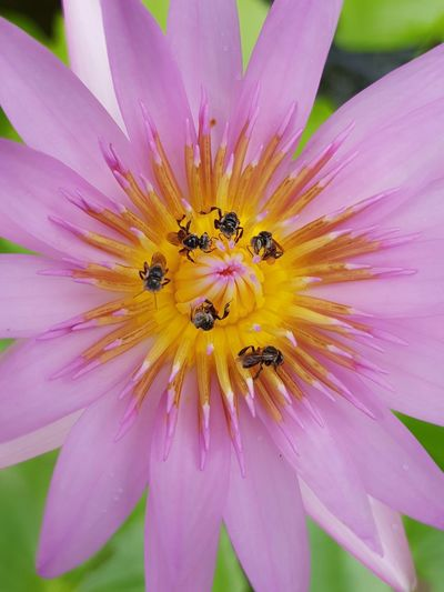 Lotus Water Lily Lotus Flower Water Lotus Lotus Thai Lotus Blossom Flower Head Flower Yellow Multi Colored Summer Petal Uncultivated Insect Pink Color Stamen