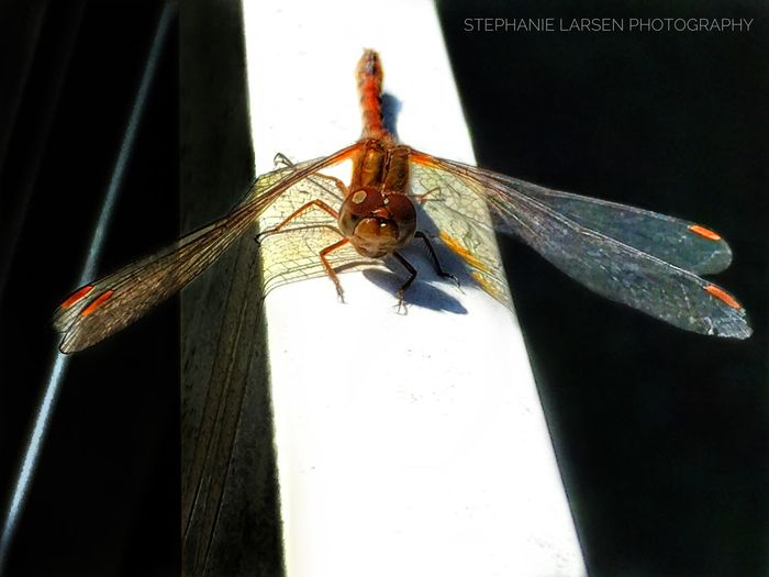 Outdoors Insect Close-up Animal Wing TeamCanon Canon 70d Dragonfly Iphone6splus IPhoneography Slarsenphotography