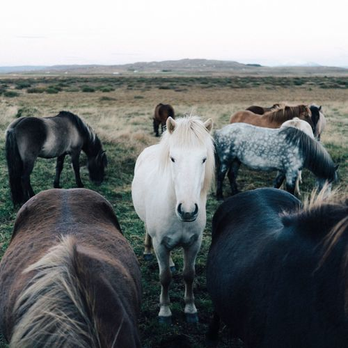 Iceland Domestic Animals Horse Animal Landscape Reykjavik Farm Traveling Fresh On Market 2016