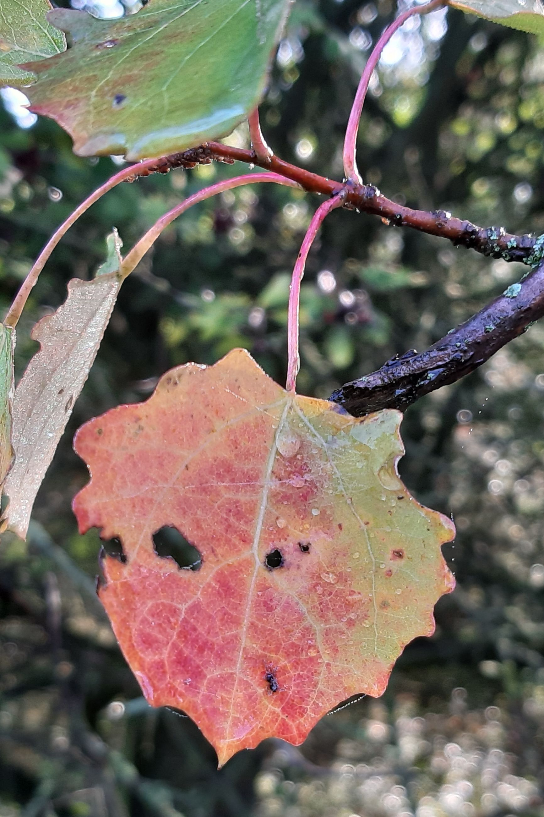 plant, close-up, focus on foreground, leaf, plant part, growth, day, nature, no people, autumn, tree, beauty in nature, change, red, pink color, outdoors, leaf vein, wet, vulnerability, fragility, maple leaf, raindrop