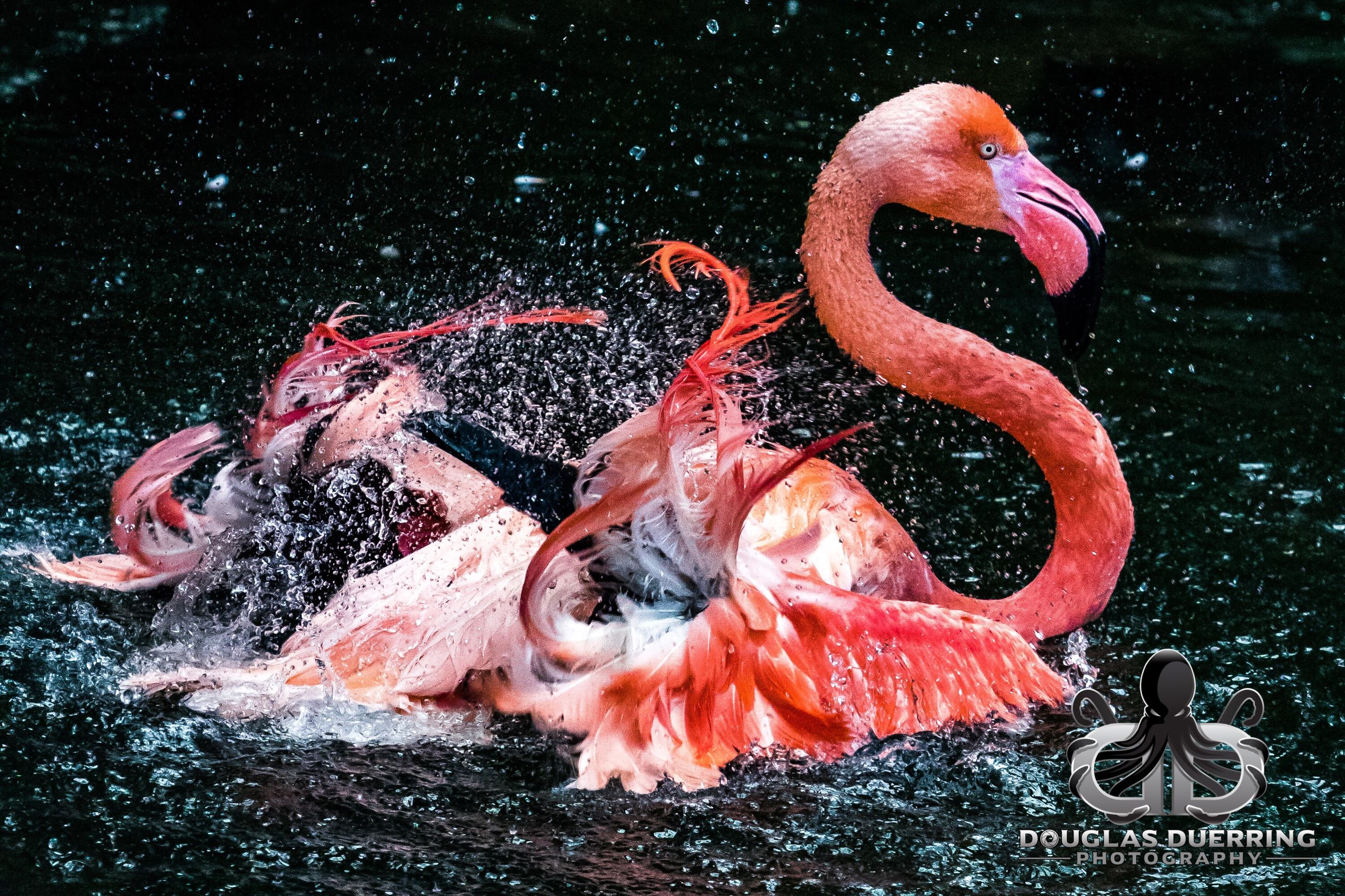 water, no people, flamingo, animals in the wild, outdoors, day, nature, animal themes, close-up, bird, swan
