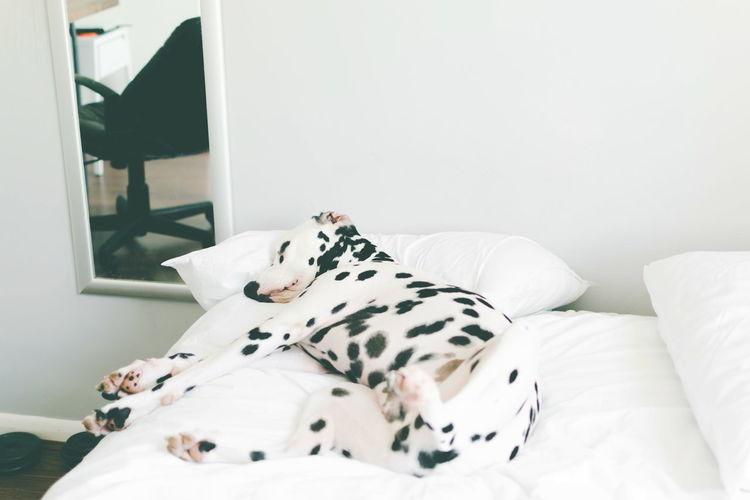 Dalmatian Dog Sleeping On Bed