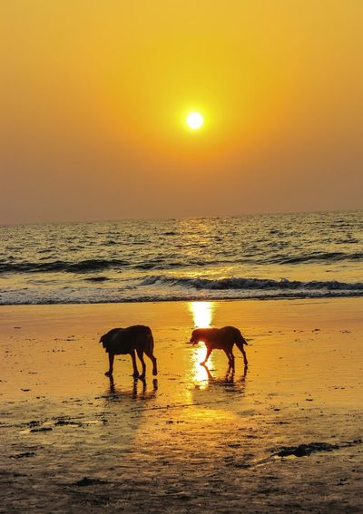Dogs at beach during sunset