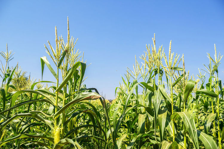 Close-Up Of Corn Field Against Clear Blue Sky