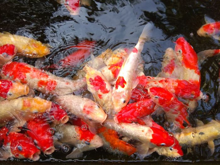 Koi fishes in
