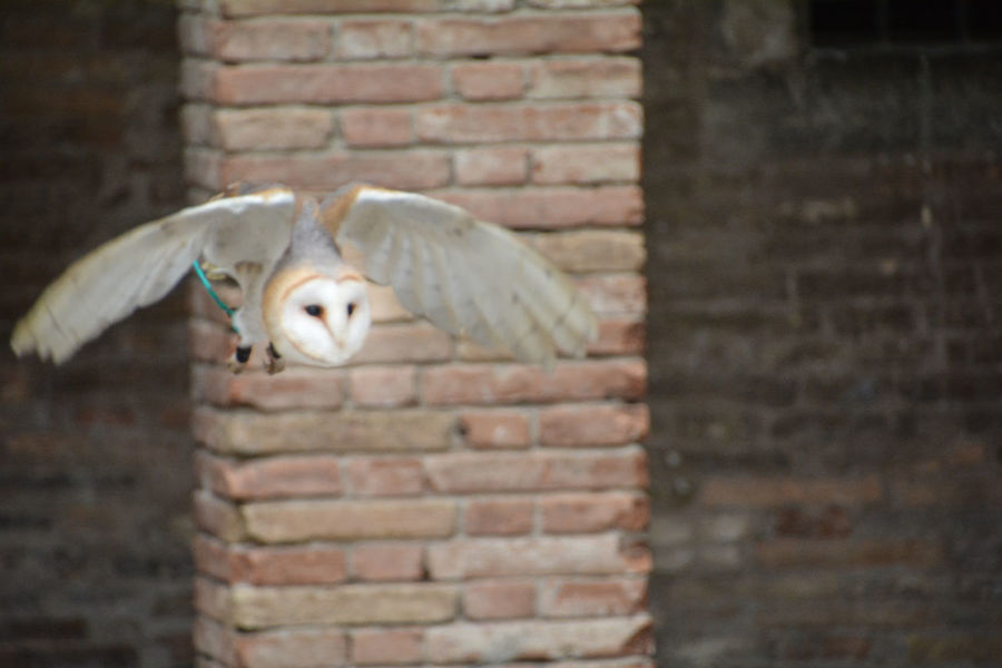 Barbagianni Brick Brick Wall Animal Wall Animal Themes Bird Vertebrate Animal Wildlife No People One Animal Wall - Building Feature Animals In The Wild Day Architecture Spread Wings Built Structure Flying Outdoors Animal Body Part Building Exterior Animal Head