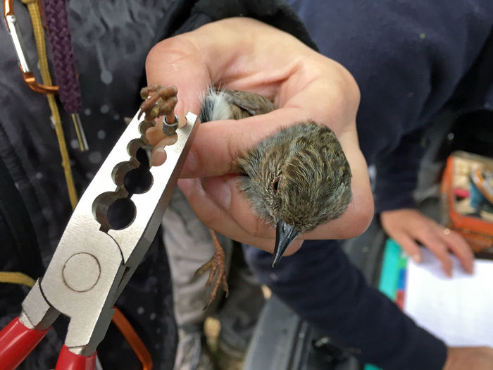 Cropped Hand Of Man Holding Dunnock And Plier