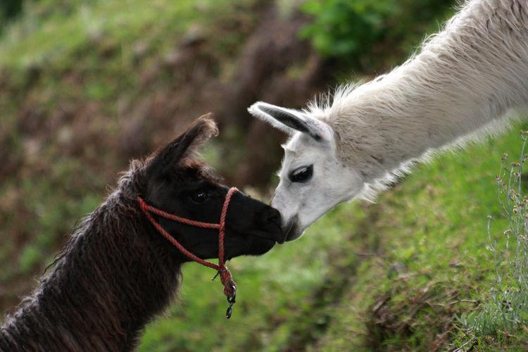 Close-up of llamas on field