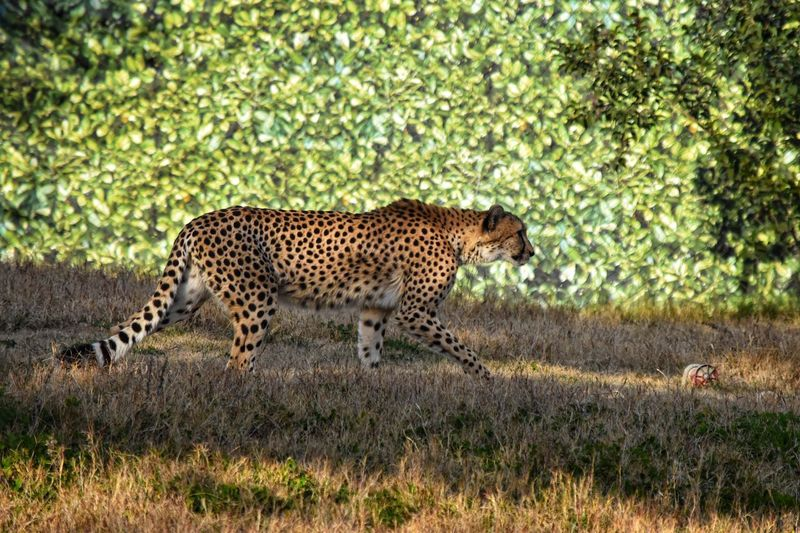 Animals In The Wild One Animal Cheetah Animal Wildlife Spotted Safari Animals Animal