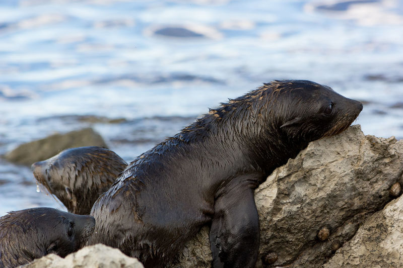 Baby Sea Lion resting on a rock Animal Themes Animal Wildlife Animals In The Wild Aquatic Mammal Beauty In Nature Close-up Cute Focus On Foreground Mammal Nature No People One Animal Outdoors Rock - Object Sea Lion Seal Travel Water