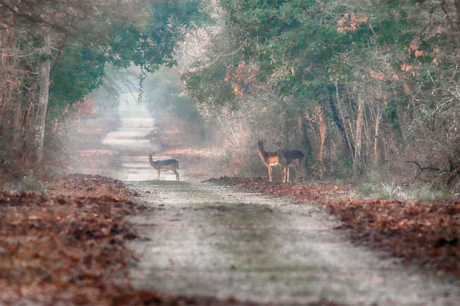 Animal Themes Animals In The Wild Beauty In Nature Day Domestic Animals Fallowdeer Fog Forest Full Length Hill Hood Landscape Mammal Mountain Nature Nature Nature Photography Nature_collection One Animal Outdoors Pets Real People The Way Forward Tree Walking