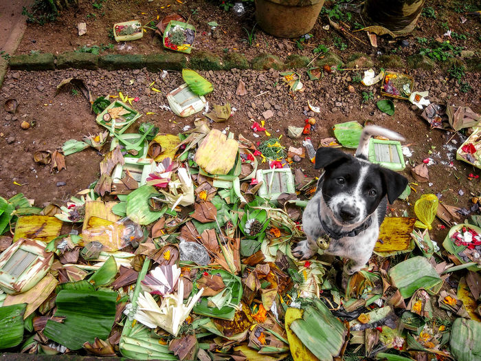 starving dog Ogikpict Bali Pets Dog Portrait Looking At Camera High Angle View Puppy Canine Cavalier King Charles Spaniel Pet Collar Yorkshire Terrier Pit Bull Terrier Carnivora Shih Tzu Boxer - Dog Panting Rottweiler Rottweiler Animal Tongue Terrier Pet Leash Pet Bed Lap Dog Siberian Husky Mixed-breed Dog Purebred Dog Sticking Out Tongue Beagle Protruding 50 Ways Of Seeing: Gratitude EyeEmNewHere This Is Natural Beauty