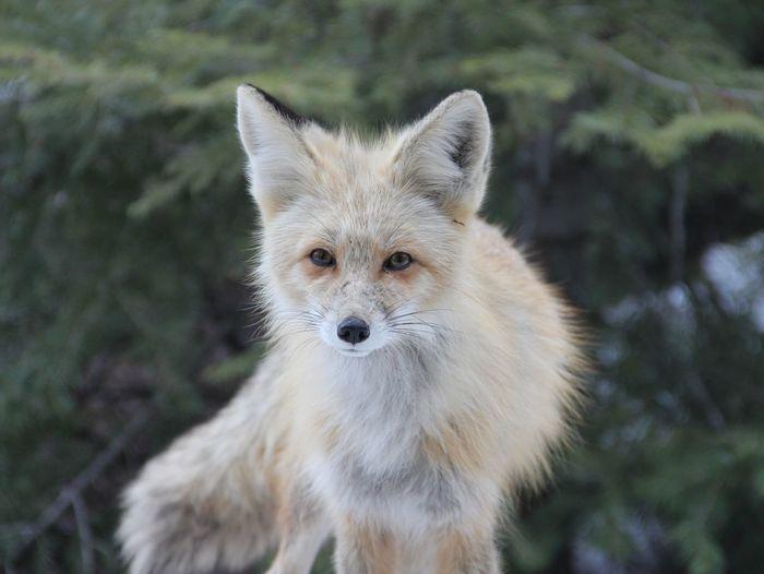 Fox Fox Wildlife Wildlife & Nature Animals In The Wild Portrait Closing Looking At Camera Beauty Eye Animal Hair Close-up Animal Eye