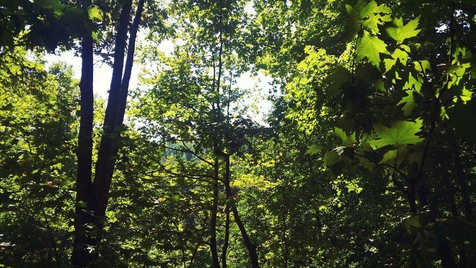 Nature Photography I Love Nature 🌱 Green Green Green!  Skyandtrees Freedom Forest Photography Freelance Life Beautiful Nature Ağaçlarınarası Ağaçlar ♥♡♥ Yapraklar🍂 Yapraklar Yeşil Doğa Huzurvesonsuzluk Huzurfanusu