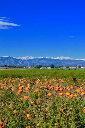 Rock Creek Farm, Broomfield CO, Pumpkin Hunting
