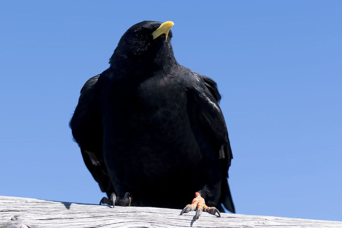 Ready to fly Pilatus Mt. Animal Themes Animal Wildlife Animals In The Wild Bird Blue Clear Sky Close-up Day Nature No People One Animal Outdoors Perching Raven - Bird Sunlight