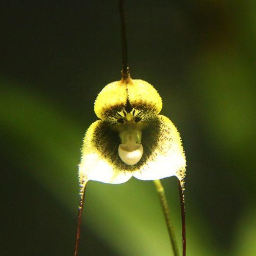 モンキーオーキッド モンキーオーキッド ドラクラシミア 蘭 洋蘭 猿顔 花 植物 仙台 Monkeyorchid Draculasimia