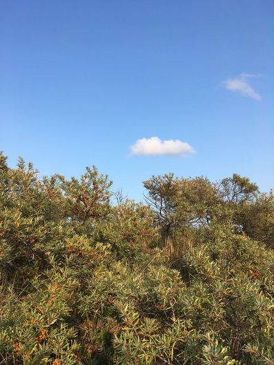 Sea buckthorn under blue sky. Cloud Cloud - Sky Seaberry Sea Buckthorn Sky Plant Growth Tree Tranquility Beauty In Nature Nature No People Day Tranquil Scene Cloud - Sky Copy Space Non-urban Scene Scenics - Nature Sunlight Outdoors Land Blue Low Angle View Green Color