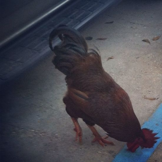 Stupid Rooster Always Chasing Me I Aint Even Do It Nothing