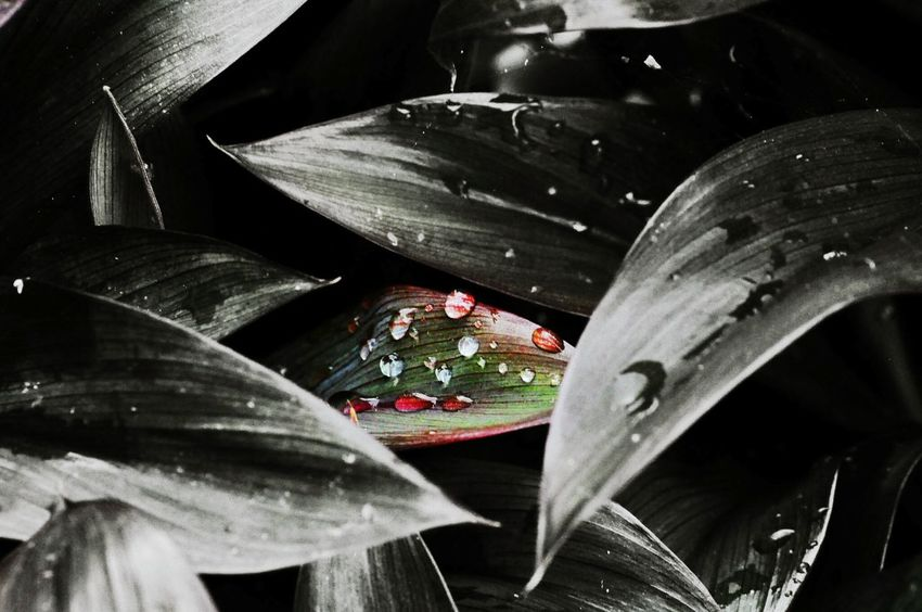 Outdoor Photography Eyeem Philippines Nikond90 Nikon Collection Nikonphotography High Angle View Dews Dew Drops Dewdrops_Beauty Dew Drops On Leaf Leaves No People Outdoors Ice Hockey Close-up Day Black Background Metal Industry