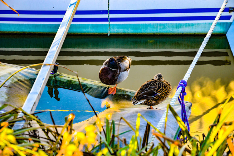Two ducks by moored vessel in Heybridge Basin. Chelmer & Blackwater Navigation Heybridge Basin, Essex Animal Themes Animal Wildlife Animals In The Wild Bird Day Nature No People Outdoors Perching Sparrow Water