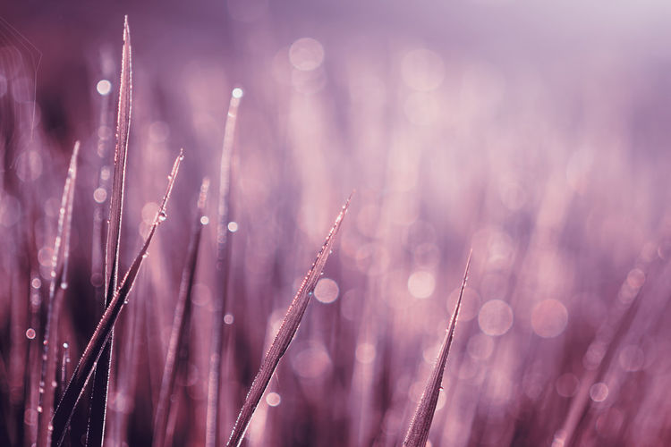 background of grass with bokeh Plant Growth Selective Focus Close-up Beauty In Nature No People Nature Wet Drop Field Water Freshness Outdoors Vulnerability  Tranquility Day Fragility Focus On Foreground Dew Purple Blade Of Grass RainDrop