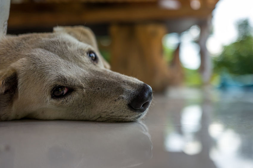 Dog in Canggu, Indonesia Animal Animal Body Part Animal Eye Animal Head  Animal Nose Animal Themes Canine Close-up Day Dog Domestic Domestic Animals Focus On Foreground Indoors  Looking Away Mammal No People One Animal Pets Relaxation Selective Focus Snout Vertebrate