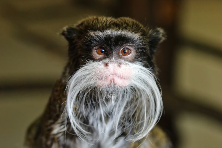 Cheeky Emperor Tamarin Monkey Animal Themes Close-up Day Looking At Camera Mammal Monkey No People One Animal Outdoors Portrait