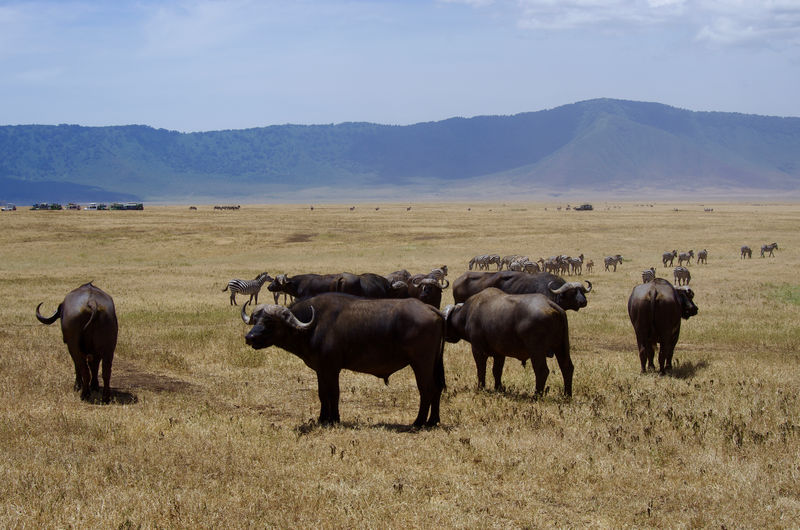 Africa Animal Animal Themes Animals Animals In The Wild Day Herd Landscape Landscape_Collection Large Group Of Animals Mammal Mountain Nature No People Outdoors Safari Sky Tanzania Travel Travel Destinations Travel Photography Wildebeest Wildlife Wildlife & Nature Wildlife Photography