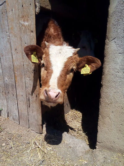 Cute young cow looking thought the barn door and enjoining in the sunny summer day. Agriculture Beef EyeEmNewHere Farm Young Animal Head  Animal Themes Barn Door Calf Cattle Countryside Cow Cute Domestic Animals Farming Hay Livestock Looking At Camera Mammal One Animal Outdoors Portrait Rural Scene Summer Sunlight