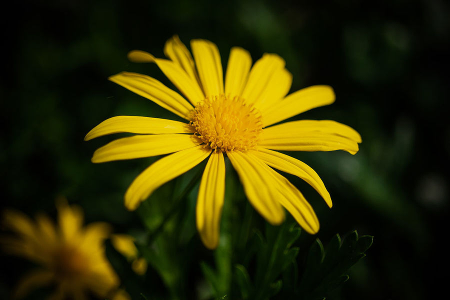 beautiful Beauty In Nature Close-up Day Flower Flower Head Flowering Plant Focus On Foreground Fragility Freshness Gazania Growth Inflorescence Nature No People Outdoors Petal Plant Pollen Selective Focus Vulnerability  Yellow