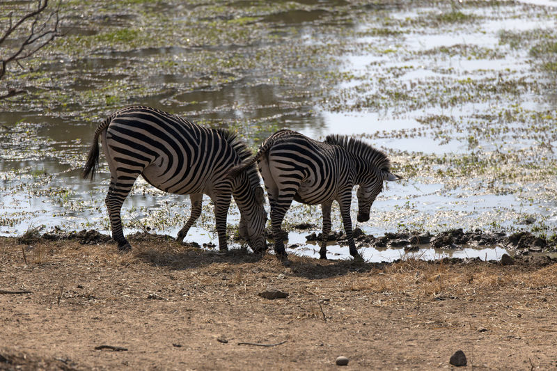View of zebras drinking water
