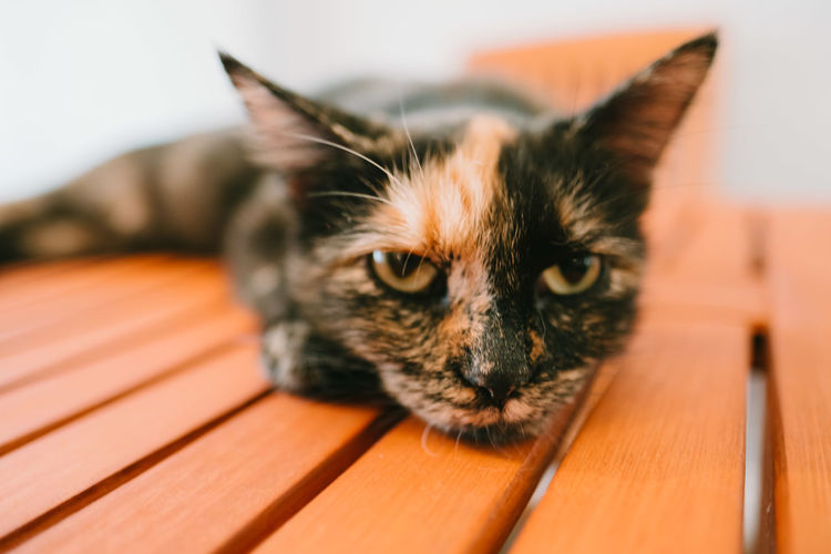 Close up of grouchy cat on a wood table. Cat Tired Pets Bored Animal Portrait Grumpy Day Indoors  Feline Unhappy Angry Close-up Mammal No People House Cat Domestic Cat Animal Themes One Animal Focus On Foreground Domestic Animals