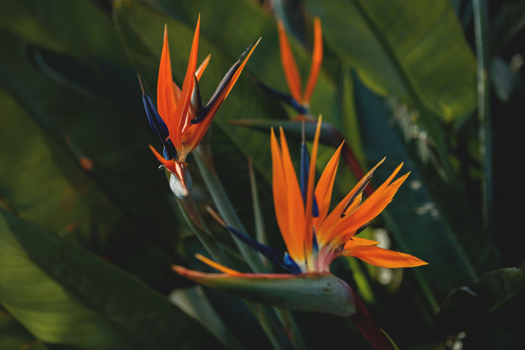 Bird of Paradise Flower Bird Of Paradise Garden Flowers Oddities Beauty In Nature Bird Of Paradise - Plant Blooming Botanical Close-up Colorful Crane Flower Depth Of Field Flower Flower Head Fragility Freshness Growth Majestic Native Plant Nature Oddbeauty Orange Color Petal Selective Focus Strelitzia