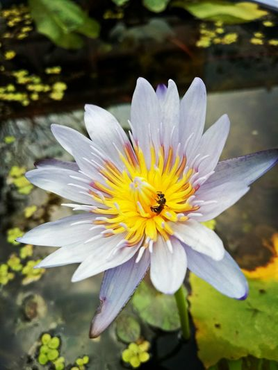 Flower Nature Close-up Plant Freshness Beauty In Nature Flower Head Petal Outdoors Springtime Fragility Pollen Growth No People Day Floating On Water Water Passion Flower ดอกบัว