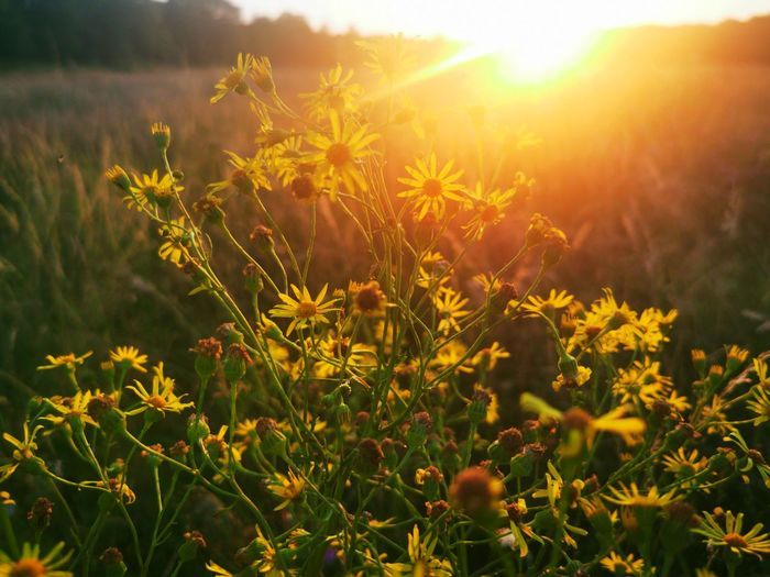 Yellow flowering plants on land during sunset