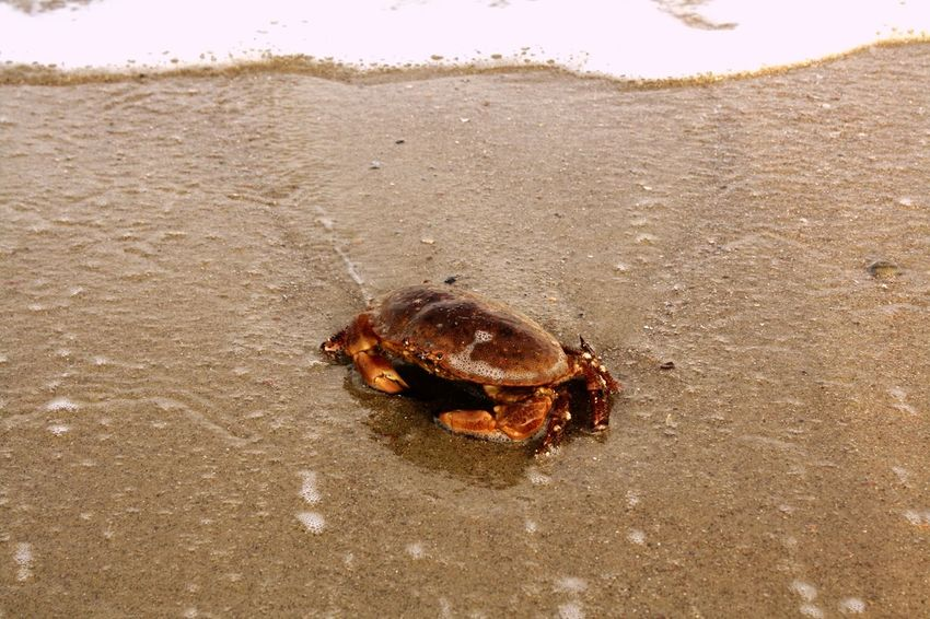 Animal Themes Animals In The Wild One Animal Sand Beach Outdoors Nature Sea Life Animal Wildlife Day Sea No People Tortoise Shell Tortoise Hermit Crab Crab Animals Summer Beauty In Nature Wild Netherlands Adventure Water Beachphotography Cool