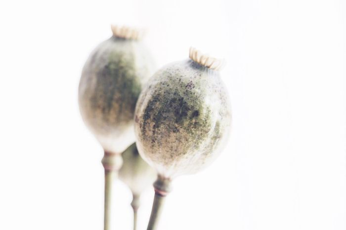 Close-up White Background Studio Shot Focus On Foreground Extreme Close-up Day Zoology Freshness No People Fragility Plant Life Beauty In Nature Botany Flower Growing Nature StillLifePhotography Flower Head Bud Freshness Still Life Still Life Photography Poppy Artistic Photo Plant