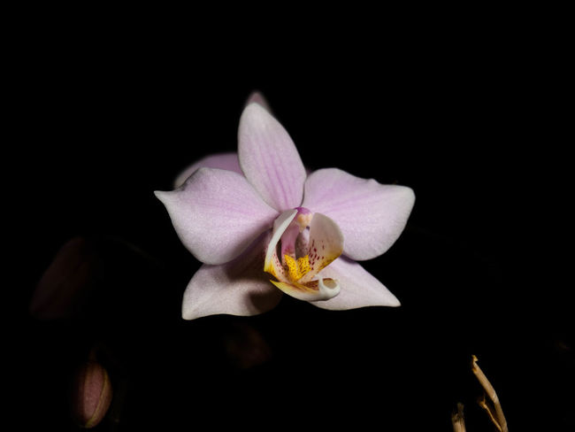 Flower Flowering Plant Fragility Freshness Petal Beauty In Nature Vulnerability  Plant Inflorescence Flower Head Studio Shot Black Background Close-up Nature Growth No People Pollen Night White Color