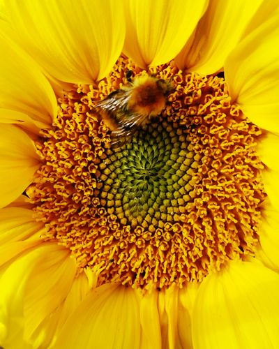 Bee on sunflower Flower Petal Flower Head Pollen Fragility Beauty In Nature Yellow Plant Freshness Macro Nature Sunflower Stamen Growth Full Frame Springtime Blossom Close-up Backgrounds Elégance EyeEm Selects EyeEm Gallery Enhanced Photograph Photography Photooftheday