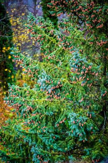 Authentic Moments Beauty In Nature Branch Brown Cones Day Green Color Growth No People October Outdoors Spruce Paw Spruce Tree