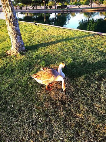 This morning on my walk the geese were rearranging the eggs and nest, hope they hatch soon.🍀 Feeling Thankful Me Alone Peace Of Mind Nature Photography Sunrise Morning Walk IPhone Photography Geese Geese Photography Sunlight Nature Day No People Water Outdoors Tranquility Animal Themes Beauty In Nature