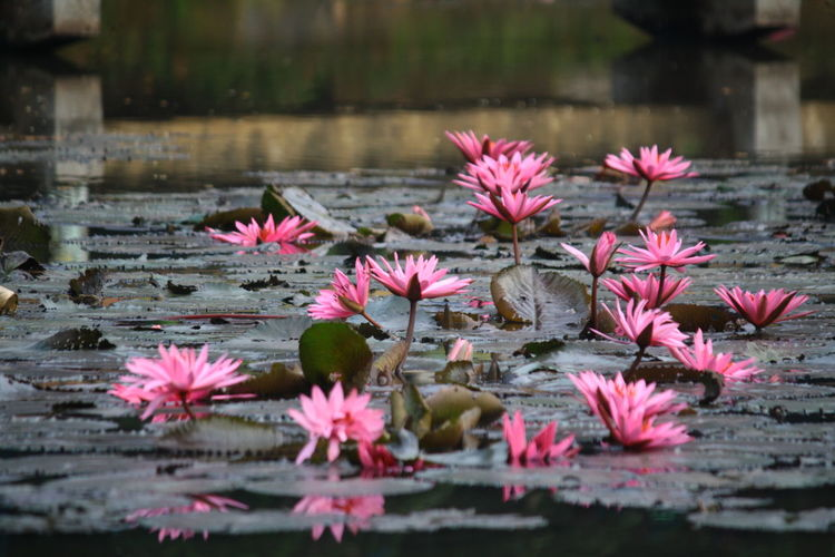 flowers Flower Nature Beauty In Nature Water Lake Water Lily Freshness Fragility Plant Leaf Lotus Water Lily Growth Outdoors Pink Color No People Floating On Water Day Lily Pad Flower Head Horizontal
