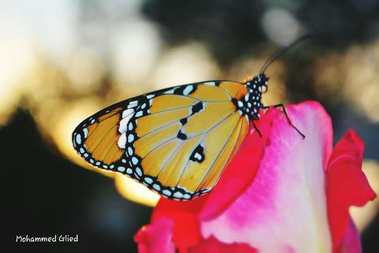 ARoses Wild Flowers Wild Wildlife Moth Libya Tajora Day Insect Butterfly - Insect Animals In The Wild Animal Wildlife One Animal No People Close-up Nature Animal Themes Fragility Outdoors Perching Beauty In Nature Flower Freshness