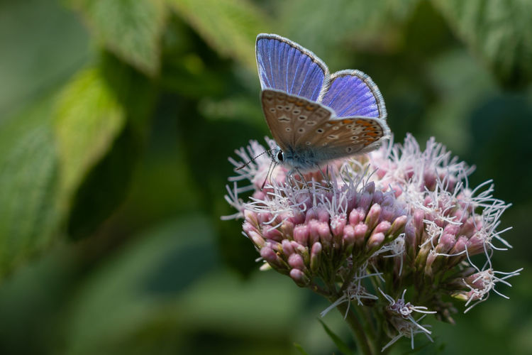 Animal Animal Themes Beauty In Nature Blue Butterfly Butterfly - Insect Close-up Common Blue Flower Flower Head Insect Nature No People One Animal Plant Pollination
