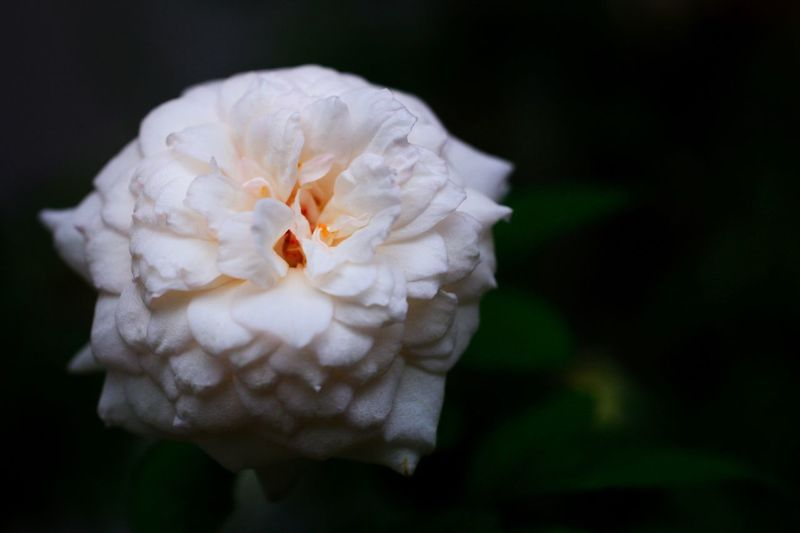 Petal Flower White Color Nature Flower Head Beauty In Nature Freshness Close-up Fragility Growth Focus On Foreground No People Blooming Day Outdoors Animal Themes