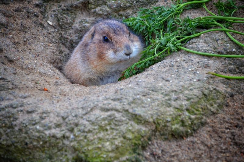 Prairie Dog Animal Themes One Animal Nature Outdoors Mammal Day No People Animals In The Wild Eyeemphotography From My Point Of View Nature_ Collection  Year Cycle Foxhol Outdoor Photography Prairie Scenes