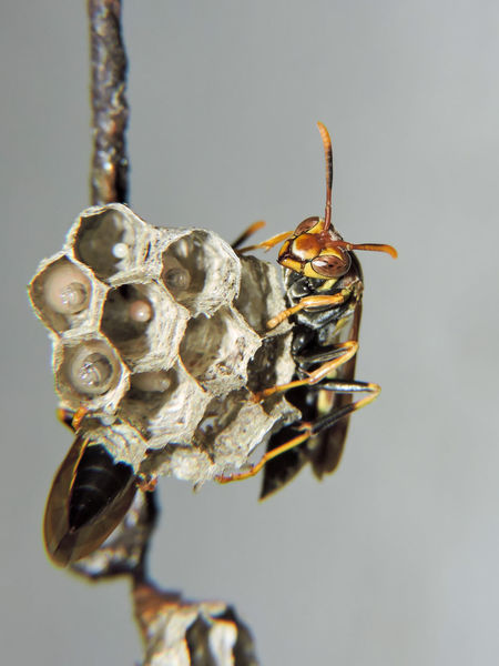 Animal Themes Close-up Insect Insect Eggs Magazhu No People Paper Wasp Paper Wasp Nest Showcase April Wasp Yelapa