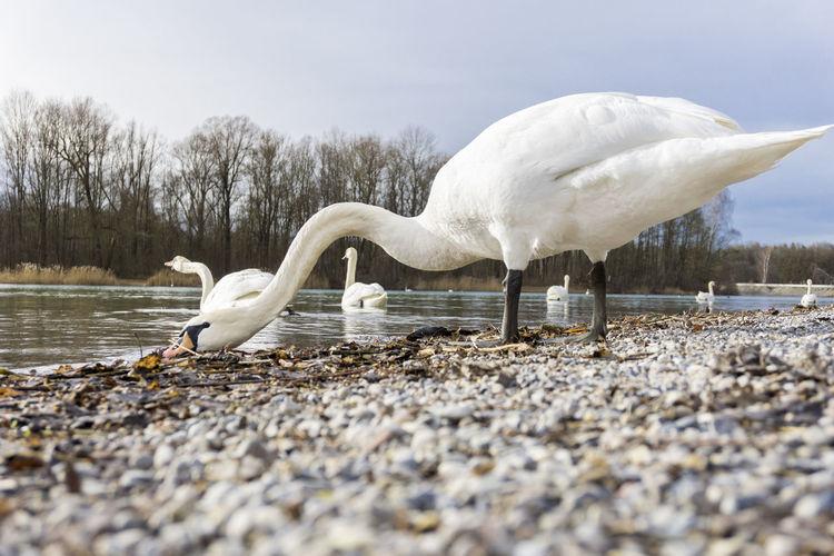 White Swan At Lake Against Sky